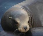 sea-lion1
