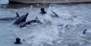 The Taiji (Japan) dolphin round-up and killing spree has begun
