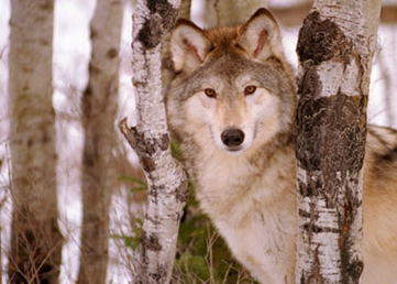 Wolves prove elusive to hunters