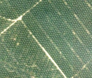 Palm oil trees replace old growth forests as far as the eye can see