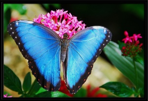The exquisite Blue Morpho butterfly perched on a flowering plant in the rainforst