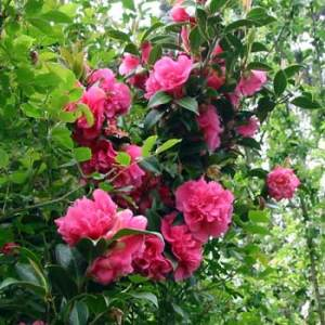 KLM to use camellias to produce biofuel for their test flight
