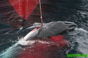 Whale hunting could become legal again