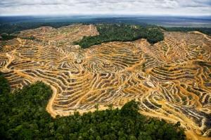Deforestation makes way for palm oil plantations
