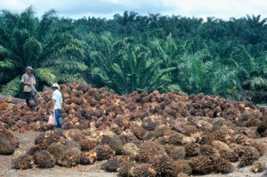 Palm Fruit harvest in Indonesia