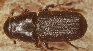 Beetles have decimated millions of trees throughout the U.S.