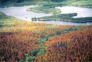 Pine Beetle infested forests.2