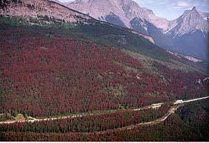 Pine Beetle infested forests