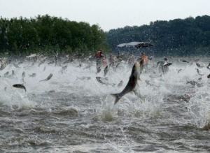 Asian carp have already desimaed the Mississippi's marine ecology