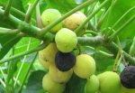 Jatropha fruit