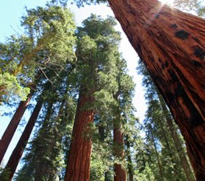 Giant sequoias like these could disappear with out your help