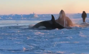 The trapped orcas are having trouble breathing as their clear hole grows smaller