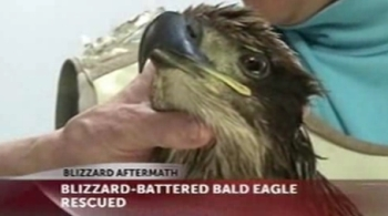 Bald eagle rescued after blizzard