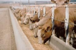 FDA-bans antibiotics in livestock