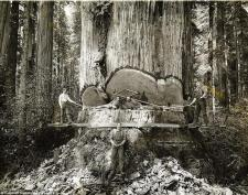 96 percent of coastal redwoods have been cut down
