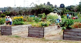 Community gardens are springing up in urban areas across the country