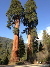 Milarch visited the Lost Forest of old growth sequoias shown here