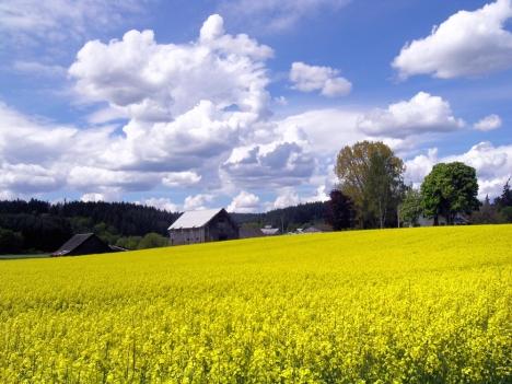 Canola-north-plains Oregon