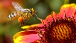 The economic cost of the global bee die-off is in the $billions
