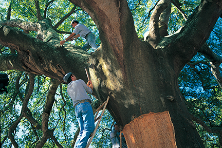 ReCORK has planted over 8,000 cork oak trees to date