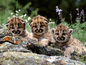 Mountain lion cubs