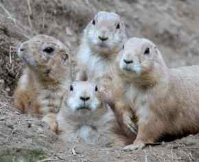 "Prairie dogs are vital to helping restore our grasslands yet ranchers and agencies poison them as ""pests"""