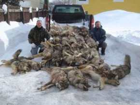 Gruesome wolf slaughter isn't just by hunters