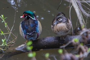 Colorful wood ducks have come back from the brink of extinction thanks to our help photo by Dawn Beattie, flickr