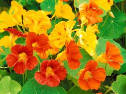 Bright colored nasturtiums are great additions to summer salads