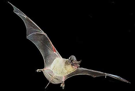 Bats - Mexican Free-tail