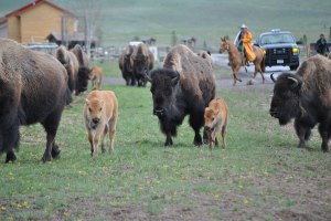 Buffalo hazing outside of Yellowstone