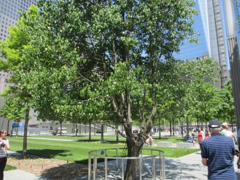 Survivor Pear Tree at ground zero World Trade Center
