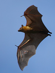 Bats may have a chance to survive the devastating white nose fungus through GM's adhesive, photo by Isidro Vila Verde, flickr