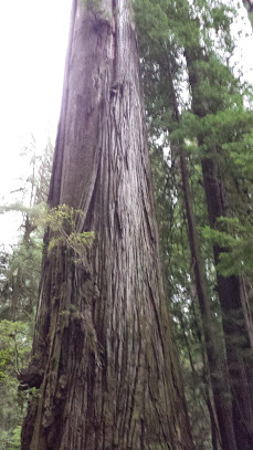 One of California's giant coastal redwoods  that's been cloned to save its genetic diversity, photo by Debra Atlas