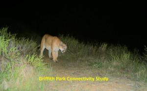 Mountain lion trapped in L.A.'s Griffith Park, photo courtesy of Miguel Ordenana and the Griffith Park Connectivity Study