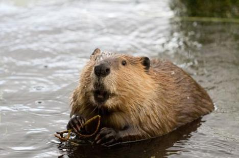 By creating year-round water retention, beavers have helped bring biodiversity and wildlife back