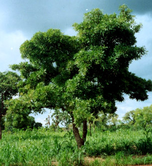 Butter shea trees - just one of the types of trees being planted as part of the Great Green Wall