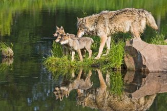 Gray wolf family