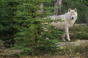 gray wolves are still threatened in their US habitat because the states have taken over administration of the species and all allow hunting of this species