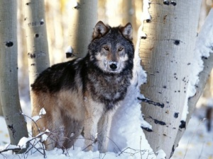 Great Lalkes Gray Wolf