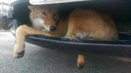 Wildlife in urban areas - coyote in Illinois