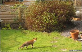 Wildlife in urban areas - red fox