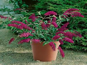 I had such hopes for such a beautiful dwarf butterfly bush