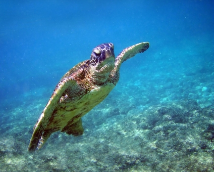 An endangered green sea turtle