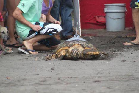 Turtle release in 2014 Tortuguero Tour de Turtles