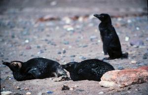 Oiled magellanic penguins