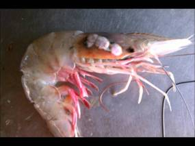 Shrimp with tumors and other deformities have become more frequent in the Gulf of Mexico since Deepwater Horizon