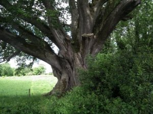Ireland's famed Brian Boru tree