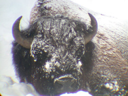 Photo courtesy of Buffalo Field Campaign