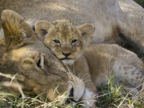 African lion mother resting with cub, photo by Suzi Eszterhas Minden